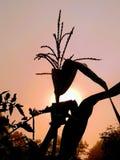 Kukurydzany badyl obrazy royalty free
