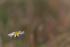 Kukurydzany chamomile (Matricaria inodora) Zdjęcie Stock