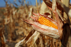 Kukurydzany cob Obraz Stock