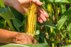 Kukurydzany cob w rolnik rękach podczas gdy pracujący na rolniczym polu fotografia royalty free