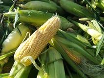 Kukurydzany cob zbierający zdjęcia royalty free