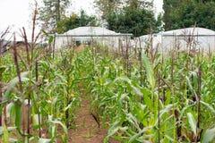 Kukurydzany dorośnięcie na gospodarstwie rolnym obraz royalty free