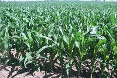 Kukurydzany dorośnięcie w Środkowy Zachód na Wielkim gospodarstwie rolnym Zdjęcia Stock