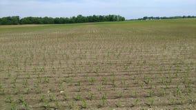 Kukurydzany dorośnięcie w polu w zachodnim Indiana zdjęcie stock