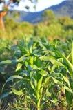 Kukurydzany drzewo Obraz Stock
