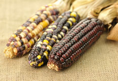 kukurydzany hindus Zdjęcia Royalty Free