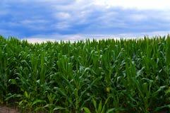Kukurydzany horyzont Po burzy 2 Obraz Royalty Free