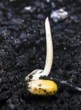 Kukurydzany kiełkowanie obraz stock