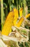 kukurydzany kolor żółty Zdjęcie Royalty Free