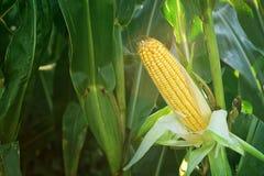 Kukurydzany kukurydza ucho na badylu w polu Zdjęcie Royalty Free