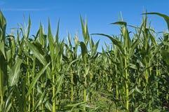 Kukurydzany kukurydzy pole z chmurami Obrazy Stock