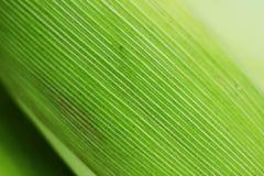 Kukurydzany liść tekstury abstrakta tło Fotografia Stock