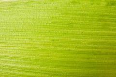 Kukurydzany liścia zakończenie up Obrazy Royalty Free