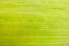 Kukurydzany liścia zakończenie up Obraz Royalty Free