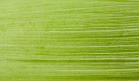 Kukurydzany liścia zakończenie up Obrazy Stock