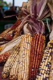 Kukurydzany żniwo Zdjęcie Royalty Free