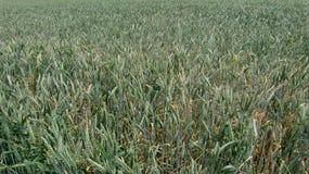 kukurydzany pole Zdjęcia Stock