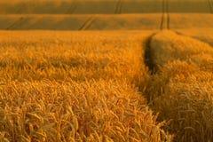 kukurydzany pole Obraz Royalty Free