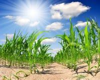 kukurydzany pole Zdjęcia Royalty Free