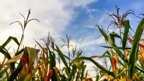Kukurydzany pole Zdjęcie Stock