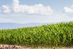 Kukurydzany pole zdjęcie royalty free