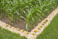 Kukurydzany pole Obraz Stock