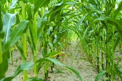 Kukurydzany pole. Obrazy Stock