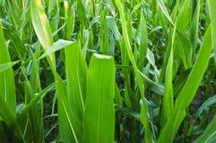 Kukurydzany pole. Zdjęcie Royalty Free