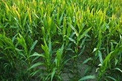 Kukurydzany pole. Fotografia Stock