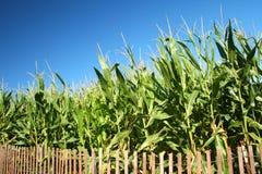 kukurydzany pole Fotografia Stock