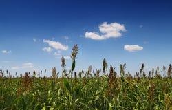kukurydzany pole Obrazy Royalty Free