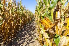 Kukurydzany pole (łata) Zdjęcie Royalty Free