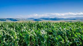 Kukurydzany pole i góry Obrazy Royalty Free