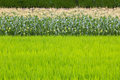 Kukurydzany pole i ryżu pole Zdjęcie Royalty Free