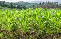 Kukurydzany pole na górze w wsi Obrazy Stock