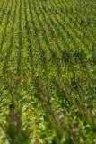 Kukurydzany pole na gospodarstwie rolnym Fotografia Stock