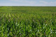 Kukurydzany pole na gospodarstwie rolnym Zdjęcia Stock