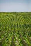 Kukurydzany pole na gospodarstwie rolnym Zdjęcie Royalty Free