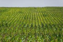Kukurydzany pole na gospodarstwie rolnym Fotografia Royalty Free