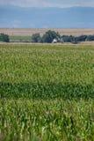 Kukurydzany pole na gospodarstwie rolnym Obraz Royalty Free