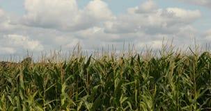 Kukurydzany pole na letnim dniu zdjęcie wideo