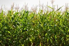 Kukurydzany pole na słonecznym dniu przy końcówką lato obraz stock