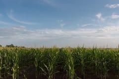 Kukurydzany pole, niebieskie niebo i biel, Chmurniejemy na słonecznym dniu obraz stock