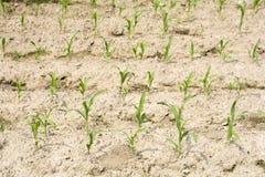 Kukurydzany pole od strony Zdjęcie Royalty Free