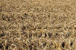 Kukurydzany pole Po żniwa fotografia stock