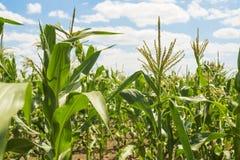 Kukurydzany pole przeciw niebieskiemu niebu w świetle słonecznym Zdjęcie Royalty Free