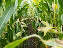 Kukurydzany pole przed żniw Dojrzałymi kukurydzanymi cobs w rzędzie behind Szczegółu widok zanurzający między kukurudzą zdjęcie royalty free