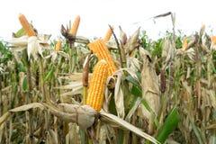 Kukurydzany pole przed żniwem Zdjęcie Royalty Free