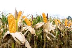Kukurydzany pole przed żniwem Zdjęcia Royalty Free