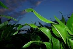 Kukurydzany pole przy nocą Zdjęcia Stock